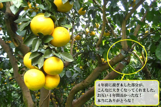国産 グレープフルーツ
