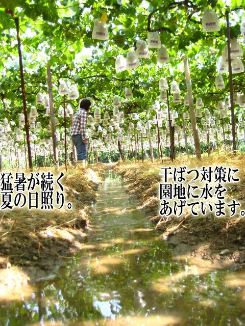 猛暑が続く夏の日照り。干ばつ対策に園地に水をあげています。