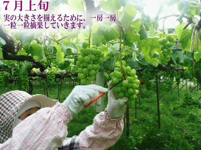 7月上旬 実の大きさを揃えるために1房1房1粒1粒摘果していきます。