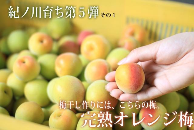 紀州の完熟梅