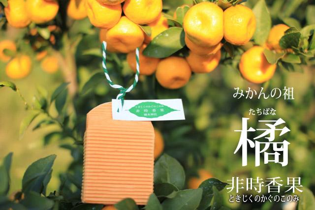 橘(たちばな)|非時香果|1900...
